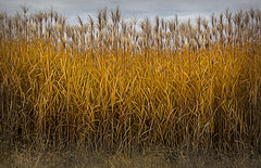 Autumn.... (Kevin Povenz Thanks for all the views and comments) Tags: 2018 november kevinpovenz westmichigan michigan grandravinesnorth ottawa ottawacounty ottawacountyparks outside outdoors farm field tall yellow topaz canon7dmarkii fall autumn growing plant