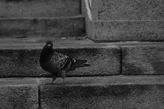 Pigeon (Diogo_Marques) Tags: canon canont5 monochromatic bw black white city cityscape scape urban citylife nature pigeon stair rock
