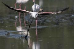 Phoenicopterus roseus (Francesc //*//) Tags: au animal aves bird ocell oiseau natura naturaleza nature pájaro phoenicopterusroseus àlicroig flamenc flamingo flamencrosat flamencocomún flamant flamantrose greaterflamingo saintesmariesdelamer camarga