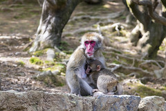 Japanese Macaque (Synghan) Tags: japanesemacaque monkey macaque snowmonkey ape two mum baby feeding feeds portrait animal macaca nature natural wild wildlife tranquility peace interesting awe wonder fulllength depthoffield parent photography horizontal outdoor colourimage fragility freshness nopeople foregroundfocus adjustment behaviour watching looking ground sitting settlement day canon eos80d 80d sigma 1770mm f284 dc macro lens 일본 원숭이 일본원숭이 동물