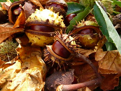 Conkers (Martellotower) Tags: horse chestnut tree conkers leaves autumn