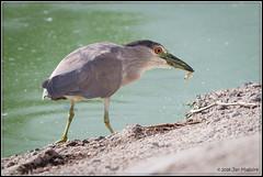 Heron with a Fish 2051 (maguire33@verizon.net) Tags: blackcrownednightheron nycticoraxnycticorax pradoregionalpark bird heron wetlands wildlife chino california unitedstates us