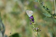 Lycaenidae (esta_ahi) Tags: òdena viladés anoia barcelona spain españa испания mariposa papallona butterfly lepidoptera insectos fauna lycaenidae