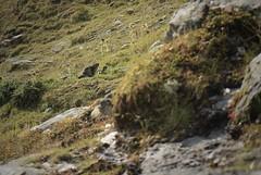 une marmotte et son marmotton (bulbocode909) Tags: valais suisse valdesdix marmottes marmottons montagnes nature rochers vert labarmaz