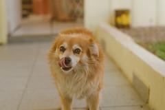 Cachorro Fofinho (Everson Mayer) Tags: dog cão cachorro pet home animal de estimação fofo fofinho comendo ração bonito