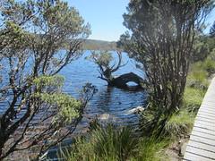 IMG_3794 (shearwater41) Tags: australia tasmania cradlemountain dovelake boardwalk tree lake