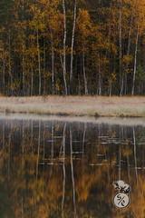 Autumn reflections (Storm'sEndPhoto) Tags: herbst syksy ruska koivut metsä forest autumn fall foliage trees color birch orange yellow aamu nordic scandinavia morning leaves