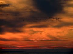 Kraniche (Wunderlich, Olga) Tags: sonnenuntergang kraniche wasser mecklenburgvorpommern vorpommernrügen naturfoto wolken himmel silhouetten abend