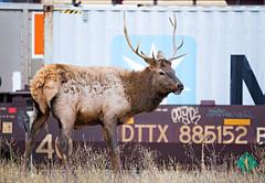 Male Elk (T. K. Daisy Leung) Tags: wildlife canadianrockies elk canadian critters canadiancritters