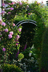 June in the Garden (Mark Wordy) Tags: mygarden summer flowers roses rosa constancespry arches