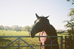 The horse that was a bit too enthusiastic (knautia) Tags: footpath northsomerset england uk october 2018 film ishootfilm olympus xa2 olympusxa2 kodak ektar 100iso nxa2roll84 monarchsway horse gate