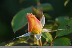 Rose bicolore (Barnie76@ ,) Tags: rose bicolore jaune rosée jardin octobre beauté fleur flower montmain