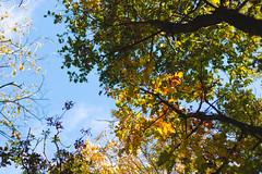 Colourful Canopy (oandrews) Tags: autumn canon canon70d canonuk colours leaves nature naturereserve northamptonshire outdoors shortandsouthwickwoods shortwoodandsouthwickwood sky sun sunlight trees wildlifetrusts wildlifebcn wood woodland woods peterborough england unitedkingdom gb