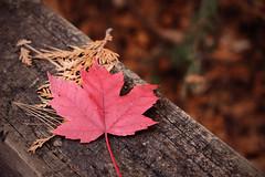 Maple Leaf (exposphotography) Tags: maple leaf fall ontario canada canadian muskoka travel outdoor red exposphotography expos macro fuji fujifilm 1855mm