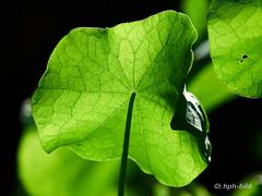 181013-37-web (Brenda-Gaudi) Tags: herbst botanik pflanzen kapuzinerkresse kräuter blatt garten germany