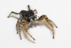 Old Man (Bug Eric) Tags: animals wildlife nature outdoors arachnids spiders arachtober arachnida araneae salticidae coloradosprings colorado usa male jumpingspiders phidippusarizonensis northamerica october42018