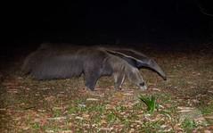 Giant Anteater (fascinationwildlife) Tags: animal mammal wild wildlife nature natur pantanal giant anteater ameisenbär night nocturnal brasilien brazil south america südamerika central tiere elusive