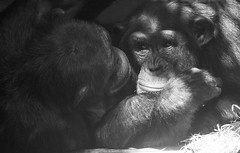 Affection (Gill Stafford) Tags: gillstafford gillys image photograph england chester zoo cheshire conservation animal ffection chimpanzee
