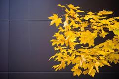 DSC_5268 (vargandras) Tags: tree branch leaf autumn fall yellow wall gray nikkor 80200mmf4556d