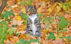 - I see a mouse!!! (Beautiful autumn. Finland) (L.Lahtinen (nature photography)) Tags: finland autumn cat fallcolors fall leaves autumncolors autumnleaves hunter cute adorable nature animal naturephotography nikond3200 nikkor55300mm funny kissa suomi luonto luontokuvaus syksy antistress pose golden pretty foliage