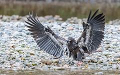 Bald Eagle (immature) (tickspics ) Tags: birds sspwashingtoniensis nekiteriver baldeagle britishcolumbia eagles canada accipitridae greatbearrainforest haliaeetusleucocephalus