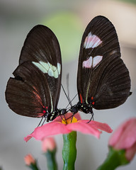 Butterflies sharing a meal (billcoo) Tags: 6d2 6dii 2 bokeh insect butterfly
