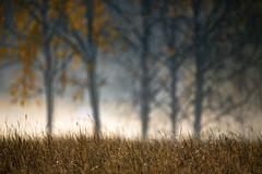 (Topolino70) Tags: canon5dmarkiv fall autumn syksy birch koivu leaf yellow lehti pelto field nature