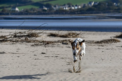 298/365 - Animal (Beach Babe)! (Nikki M-F) Tags: dog jazz beach wales uk run bound fun estuary