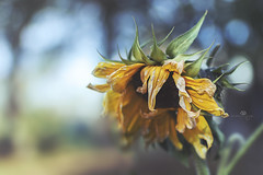 accept defeat (rockinmonique) Tags: muttart sunflower flower bloom blossom petal fall autumn dried macro bokeh light yelow green blue moniquewphotography canon canont6s tamron tamron45mm copyright2018moniquewphotography