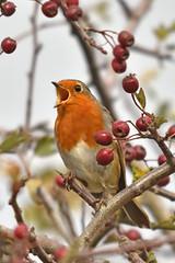 Singing Robin (42jph) Tags: nikon d7200 nature bird wildlife robin redbreast singing uk england northumberland holywell