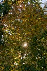 Sonnenstrahlen brechen durch die Blätter (KaAuenwasser83) Tags: sonne sonnenstern sonnenstrahlen strahlen licht blätter laub blat herbst ahorn baum bäume natur pflanze park anlage garten holz stämme ast äste zweige bunt farben gelb orange himmel oben oktober 2018