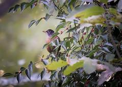 Among the berries (Umer Javed) Tags: cootesparadise hamilton hamont rbg royalbotanicalgardens nature natural wilderness trail hiking adventure canon cans2s hfg rebelt3i eos600d autumn birds bird wildlife animals fauna