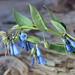 Bluebells in Utah