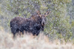 Moose Snow-globe...{Explored} (DTT67) Tags: bullmoose nature wildlife animal mammal canon 1dxmkii snow snowfall alces bull moose