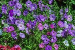 Próxima estación, Primavera (pedroramfra91) Tags: naturaleza nature exteriores outdoors flores flowers jardín garden primavera spring colores colors
