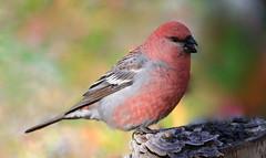 Durbec (Marie-Helene Levesque) Tags: oiseau abitibi valdor côtede100pieds loft durbec durbecdessapins mariehélène mariehelene