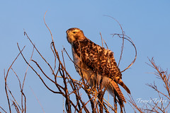 Red Tailed Hawk in the golden light of sunrise
