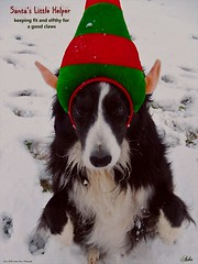 It's Snow Place to be out in the cold (ASHA THE BORDER COLLiE) Tags: funny christmas dog picture elf border collie snow ashathestarofcountydown connie kells county down photography