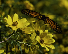MonarchButterfly_SAF6557 (sara97) Tags: danausplexippus butterfly copyright©2018saraannefinke endangered insect missouri monarch monarchbutterfly nature photobysaraannefinke pollinator saintlouis towergrovepark inflight