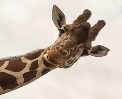 Giraffe (Jacqueline138Kelly) Tags: jacquelinekelly zoo colchesterzoo animal nikon d5200 dayout wildlife wild