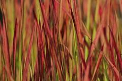 Japanese Blood Grass (Slow Turning) Tags: imperatacylindrica japanesebloodgrass plant ornamental vegetation variegated pattern summer southernontario canada