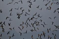 Large Indian Pratincole in flight (mattlaiphotos) Tags: 燕鴴 bird avifauna wildlife nature flock fly flight birdwatch largeindianpratincole taichung taiwan birdwatching