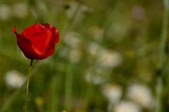 Wild colours ... (Raquel Borrrero) Tags: spring springflower wildlife wild plants blur bokeh flor amapola primavera silvestre plantas colourful colours countryside natur natura natural outside campo poppy hierba herbal grass blumen daisy red rojo