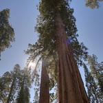 Giant Sequoias, Mariposa Grove thumbnail