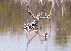 Greater Yellowlegs & Short Billed Dowitcher (Tony CC Gray) Tags: birds tonygray canon floridakeys tropicalavenue marathon florida greateryellowlegs shortbilleddowitcher