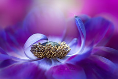 Graceful (Jacky Parker Photography) Tags: anemonedecaen windflowers purple cutflower springflower fresh beautyinnature floatypetals floralart bloom flora nopeople horizontalformat closeup brightlylit flowerphotography nikon uk