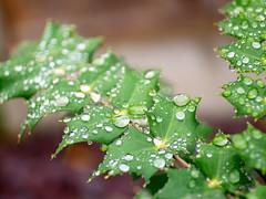 Green (Jyoti Mishra) Tags: plants garden nature autumn colours rain rainy raindrops