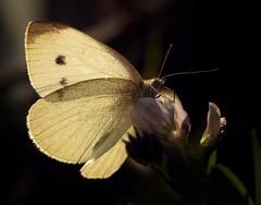 1-P1250341b (Kaska Ppp) Tags: butterfly macro macromonday macrophotography naturephotography nature fauna light
