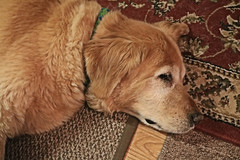 Prancer Relaxing (hbickel) Tags: prancer relaxing goldenretriever photoaday pad canont6i canon