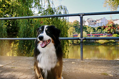 Wanderlust (IuBri) Tags: dog australian shepherd australianshepherd autumn gold city river photo day germany europe colors